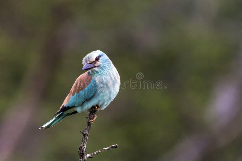 Голубая красочная птица европейского ролика садить на насест на ветви стоковое фото rf