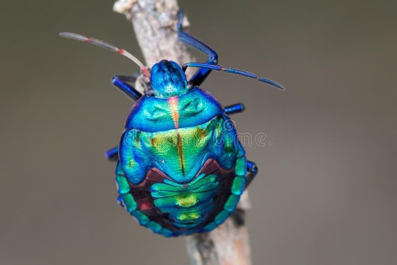 Голубая личинка черепашки драгоценности на ручке стоковые фото