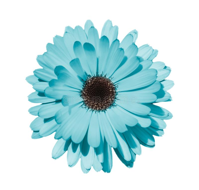 Голубая маргаритка или стоцвет изолированные на белой предпосылке стоковая фотография