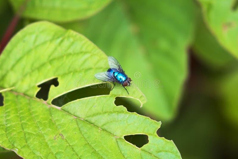 Голубая муха бутылки на зеленой фотографии макроса листьев стоковая фотография