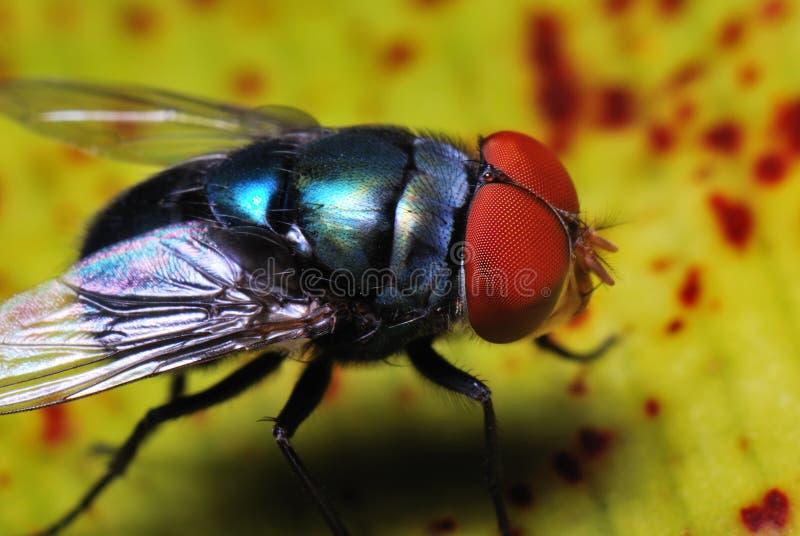 голубая муха бутылки стоковое фото rf