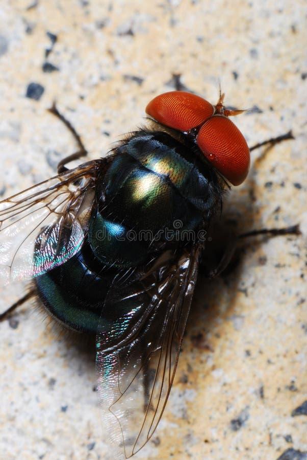 голубая муха бутылки стоковые изображения