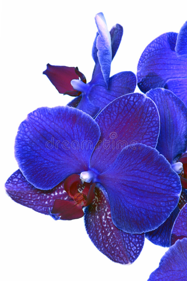 голубая орхидея цветка стоковая фотография rf