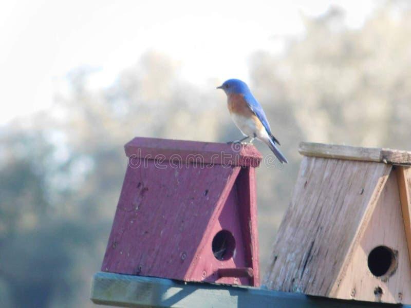 Голубая птица стоковые изображения rf