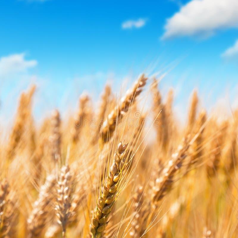 голубая пшеница неба поля стоковые фотографии rf