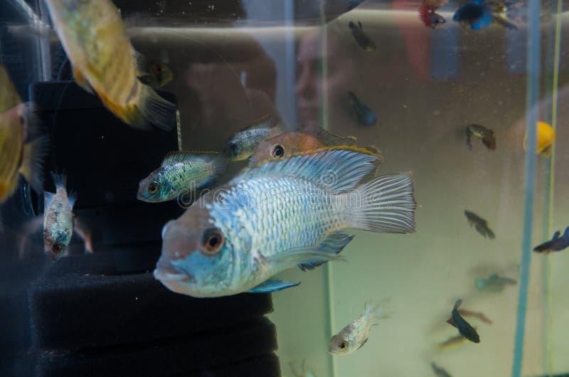 Голубая рыба в аквариуме стоковые изображения rf