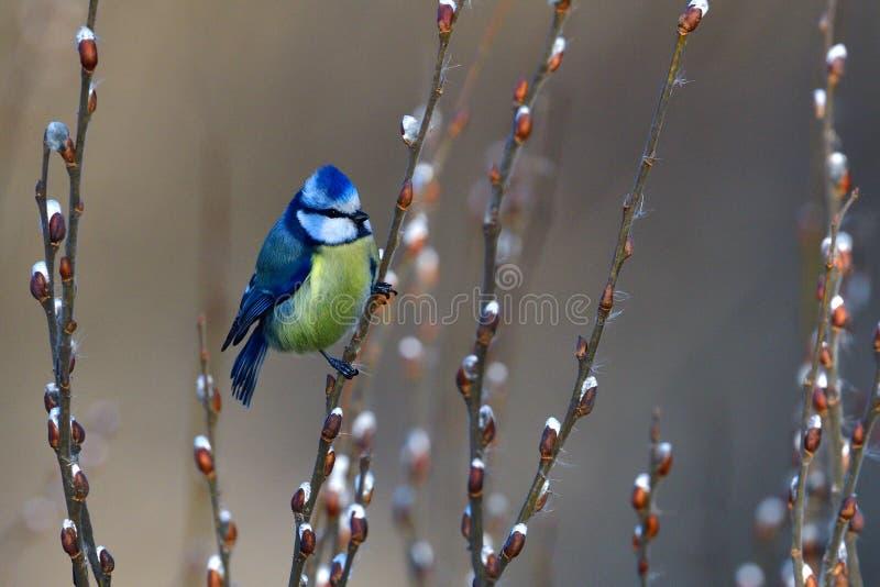 Голубая синица в зиме на дереве стоковое фото