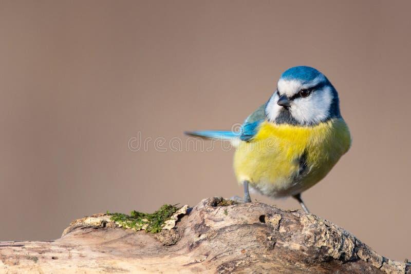 Голубая синица, caeruleus Cyanistes, сидя на пне стоковая фотография rf