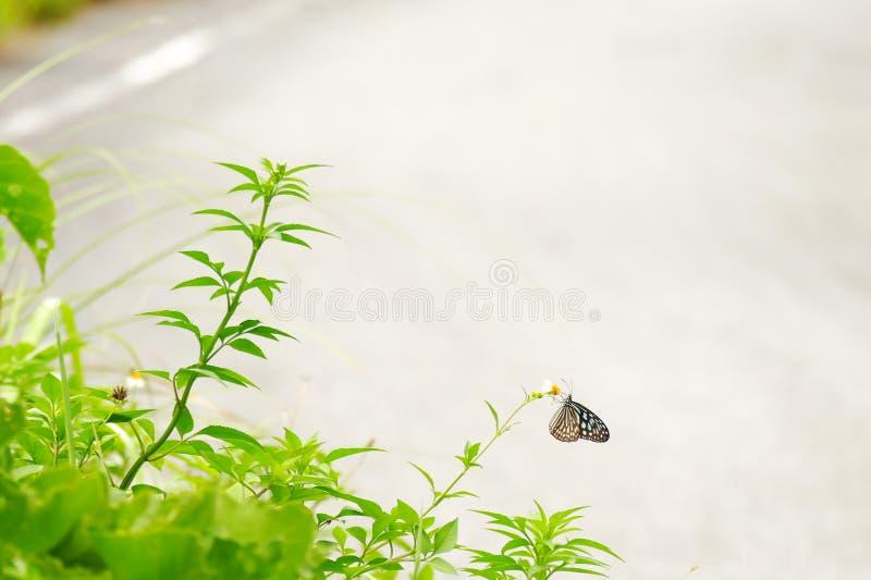 Голубая стекловидная бабочка садить на насест на засорителе, Zamami тигра, Окинава стоковая фотография