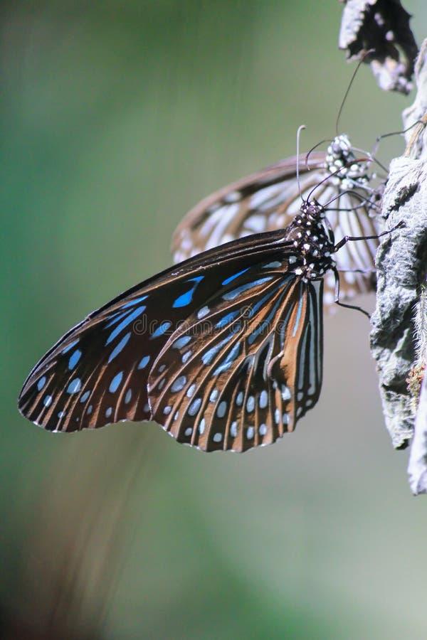 Голубая стекловидная бабочка тигра стоковая фотография rf