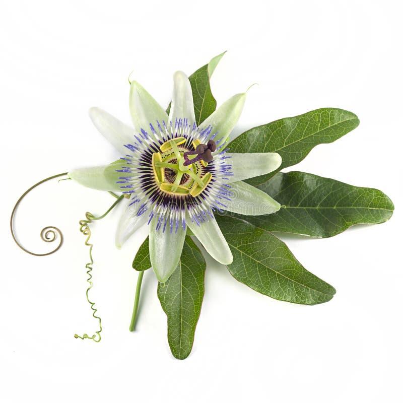 Голубая страсть цветок Passiflora caerulea на белом фоне стоковая фотография