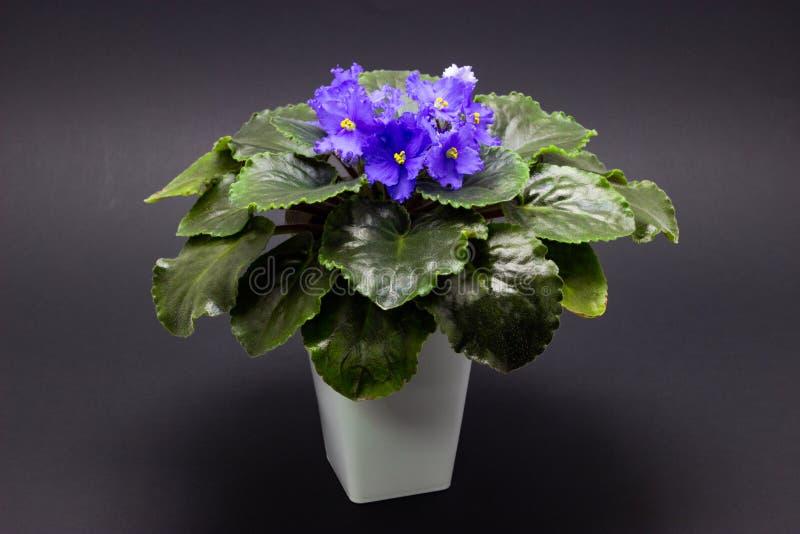 Голубая узамбарская фиалка на цветках темной предпосылки голубых стоковое фото rf