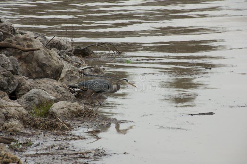 Голубая цапля ждать на береге стоковые изображения rf