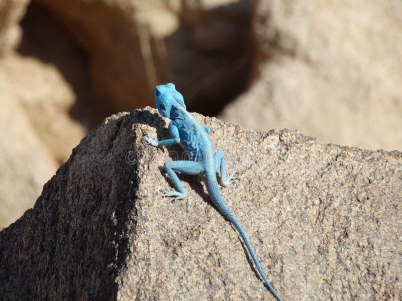 Голубая ящерица, Саудовская Аравия стоковое фото