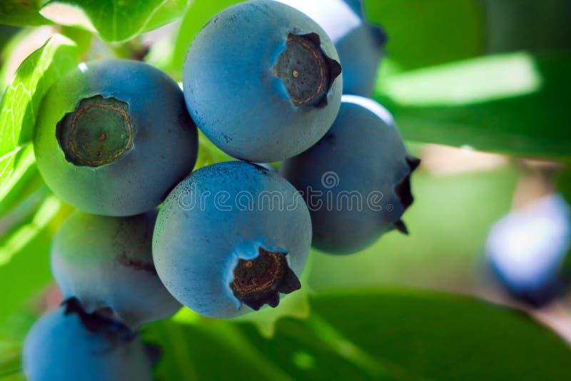 голубики зрелые стоковая фотография rf
