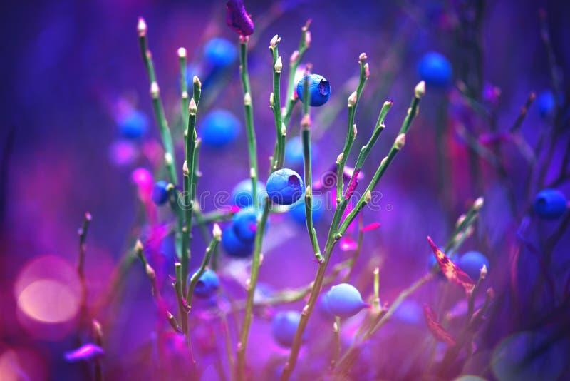 Голубики осени Сочный и свежий wildberry расти в голубике леса органической стоковые фото