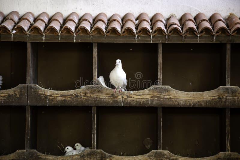 Голуби в dovecote стоковое фото
