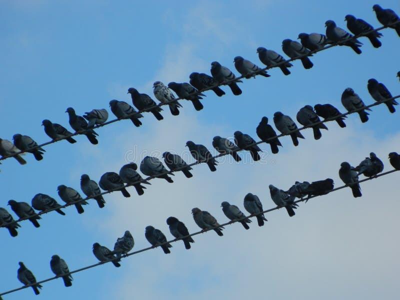 Голуби голубей стоковое изображение