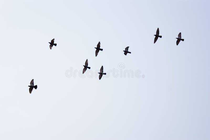 Голуби летания стоковая фотография