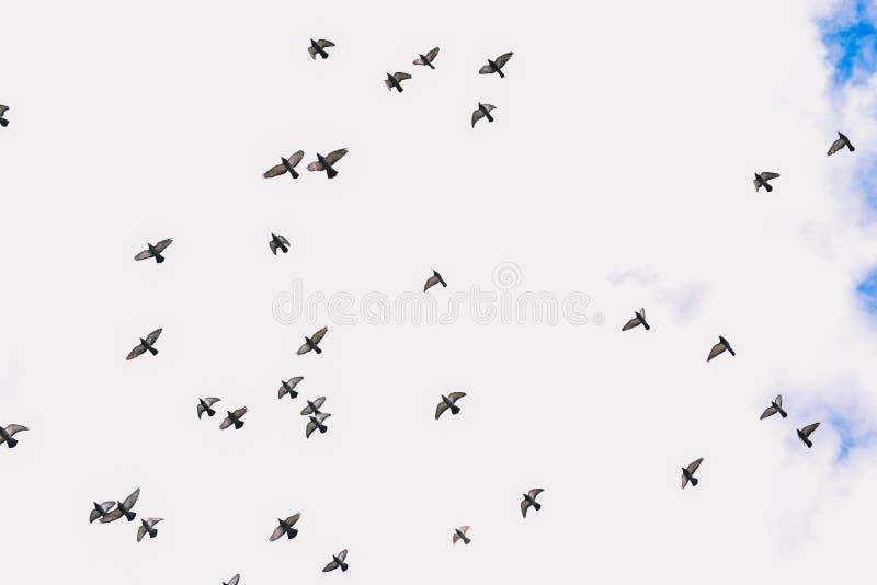 Голуби летая в небе Стадо птиц против голубого неба с облаками Голуби в небе летают в одно направление стоковое изображение