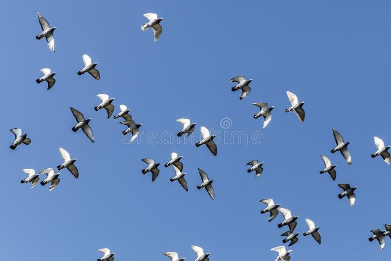 Голуби летая на красивый солнечный день с предпосылкой голубого неба стоковые фотографии rf