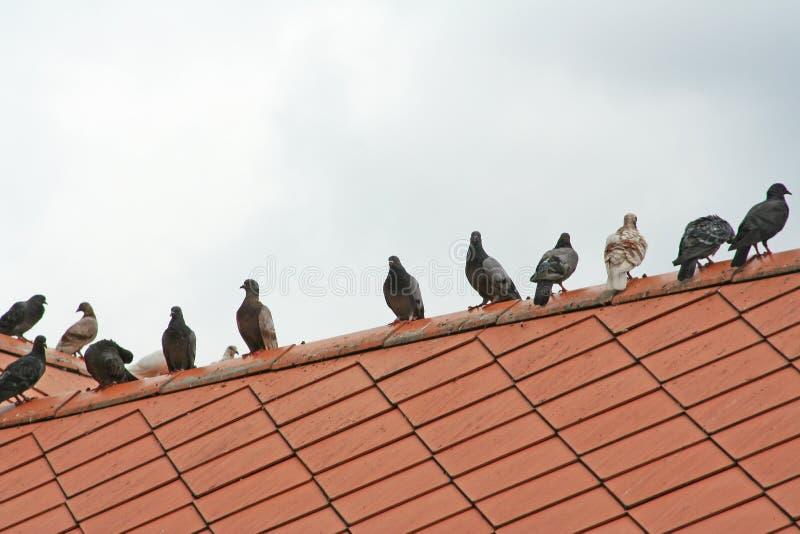 Голуби на крыше стоковое изображение