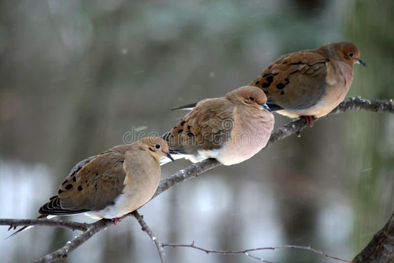 голуби оплакивая 3 стоковое фото
