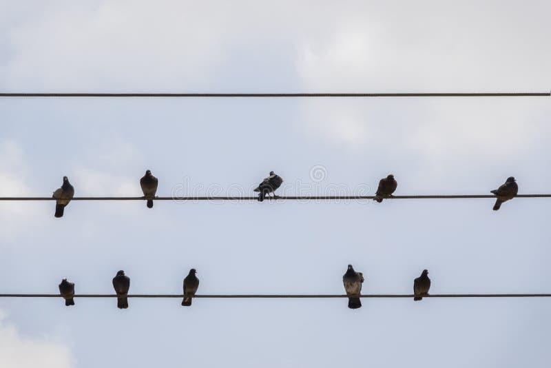 Голуби отдыхают на проводах Птицы голубя сидя на линии электропередач стоковые изображения