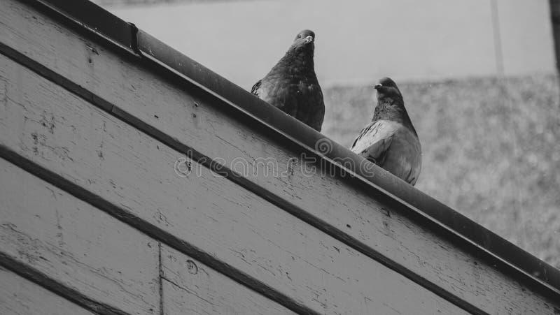 Голуби смотря людей от линии крупного плана крыши стоковые изображения