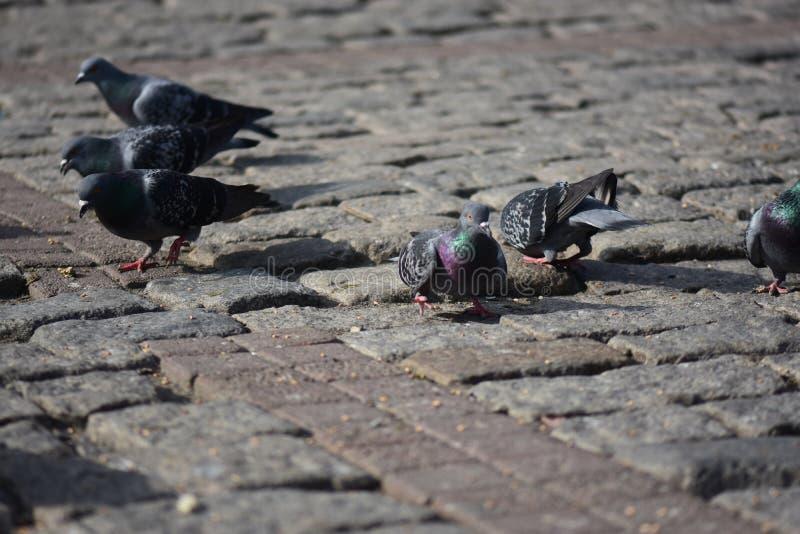 Голуби собирают на улицу стоковые фотографии rf