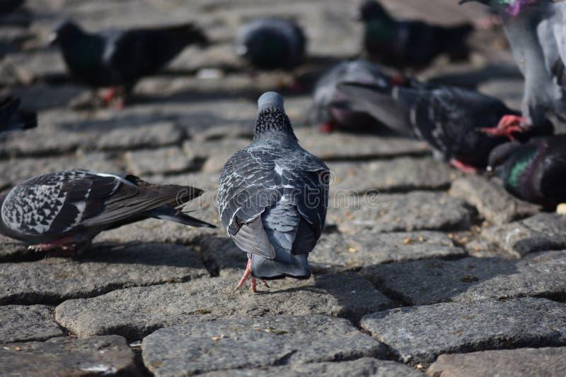Голуби собирают на улицу стоковая фотография