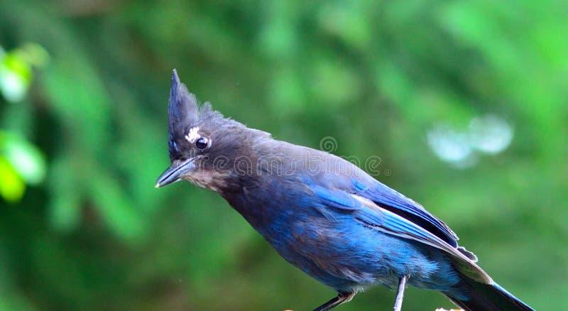 Голубое Джэй в лесе стоковые фото