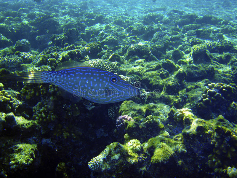голубое заплывание рыб стоковое изображение