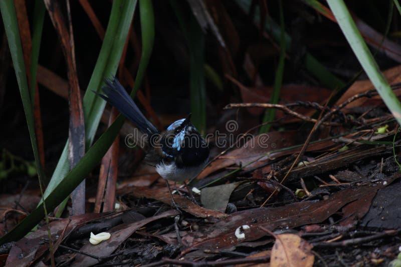 Голубое любопытство птиц стоковое фото