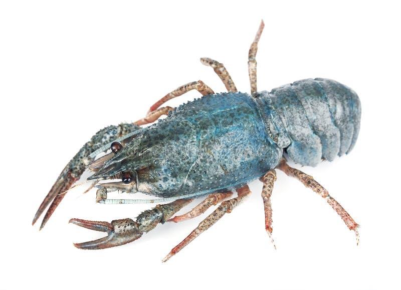 голубое море crayfish стоковые фото