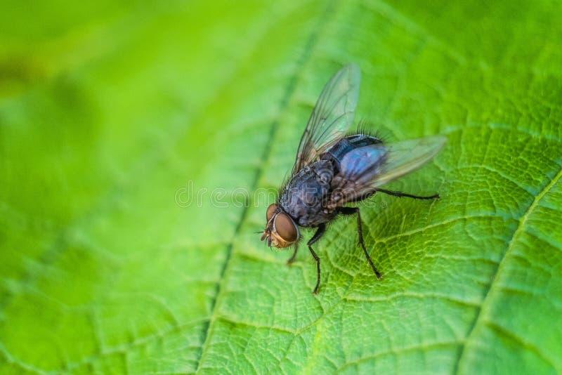 Голубое насекомое мухы мяса на зеленых лист в конце-вверх природы голубая муха бутылки стоковая фотография rf