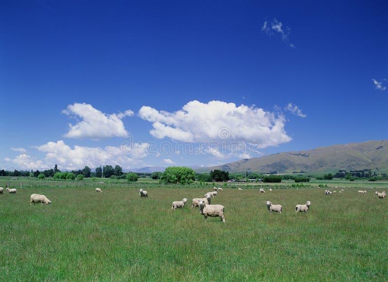 голубое небо овец поля стоковые фотографии rf