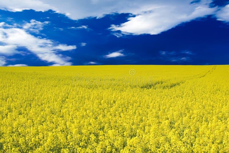 голубое небо рапса стоковое изображение
