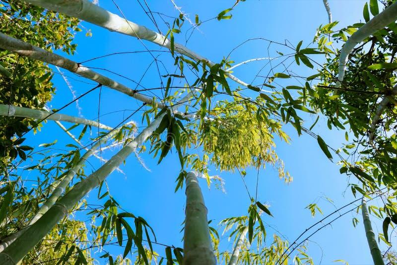 Голубое небо через бамбуковые деревья стоковое фото rf