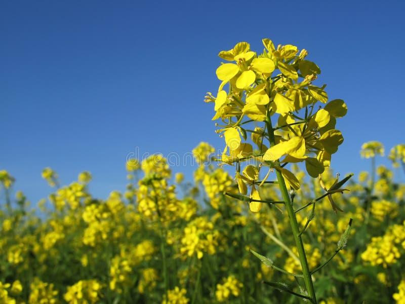 Download голубое небо canola стоковое изображение. изображение насчитывающей цветки - 6865821