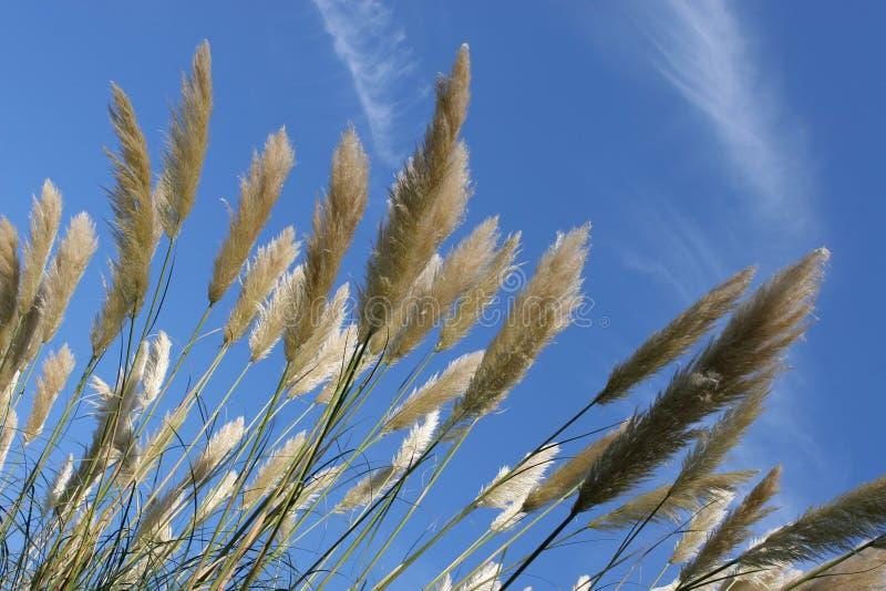 голубое небо pampas травы высокорослое стоковое изображение rf