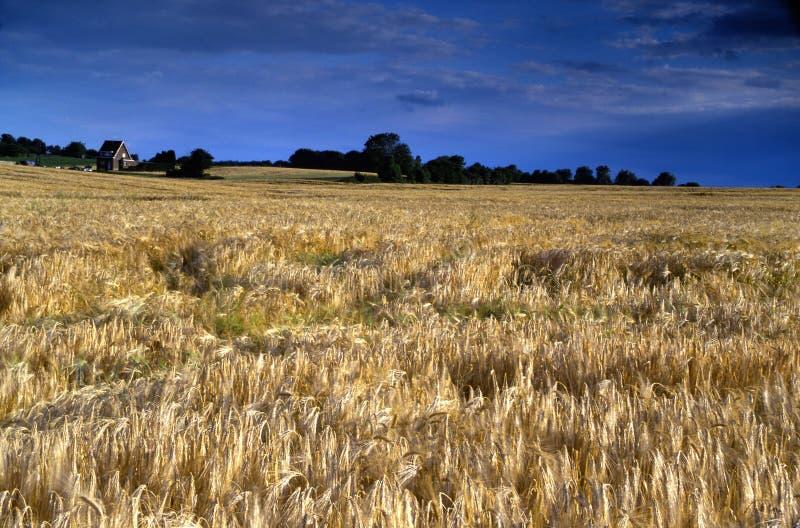 голубое пасмурное глубокое небо рожи зерна поля под видимым Стоковое Фото