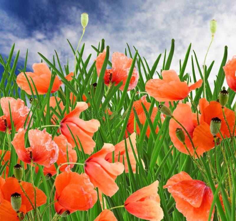 голубое пасмурное небо мака зеленого цвета травы цветков стоковые изображения rf
