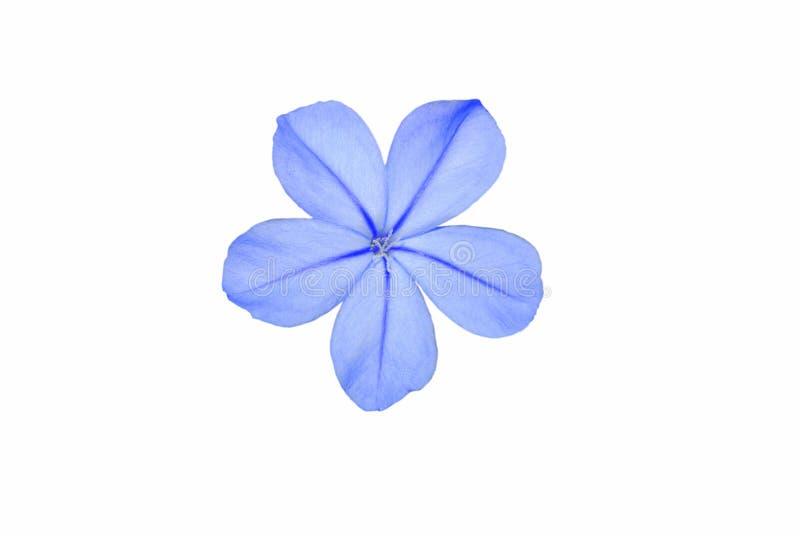 голубое плумбаго цветка стоковое изображение rf