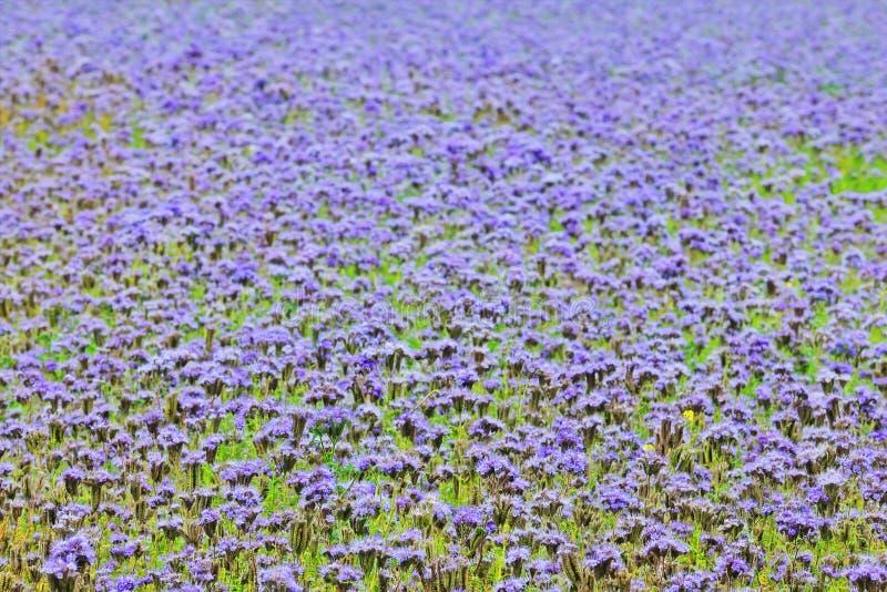 голубое поле цветет вполне стоковые изображения rf