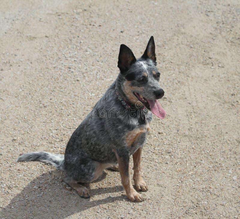 Голубое усаживание собаки Heeler стоковые изображения