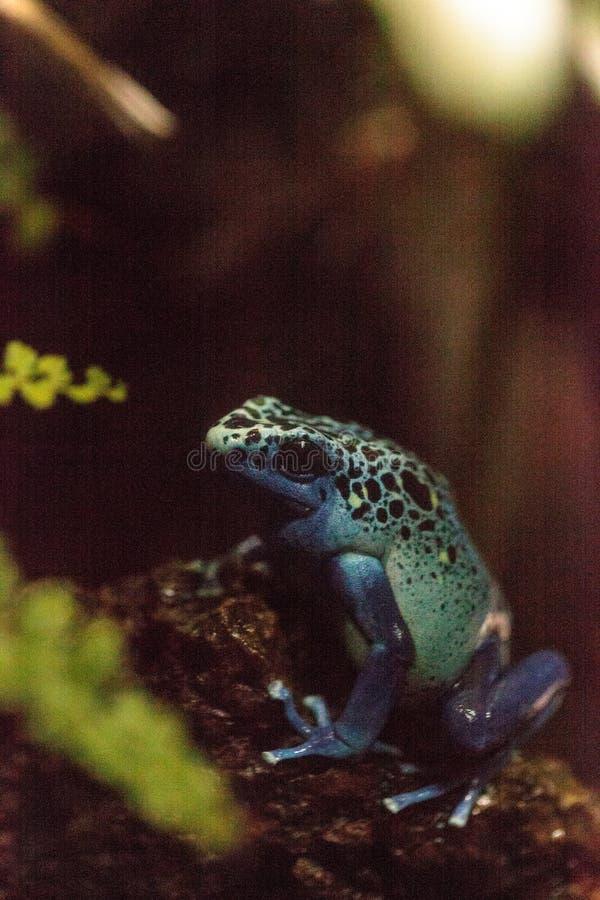 Голубое azureus tinctorius Dendrobates лягушки дротика отравы стоковое изображение rf