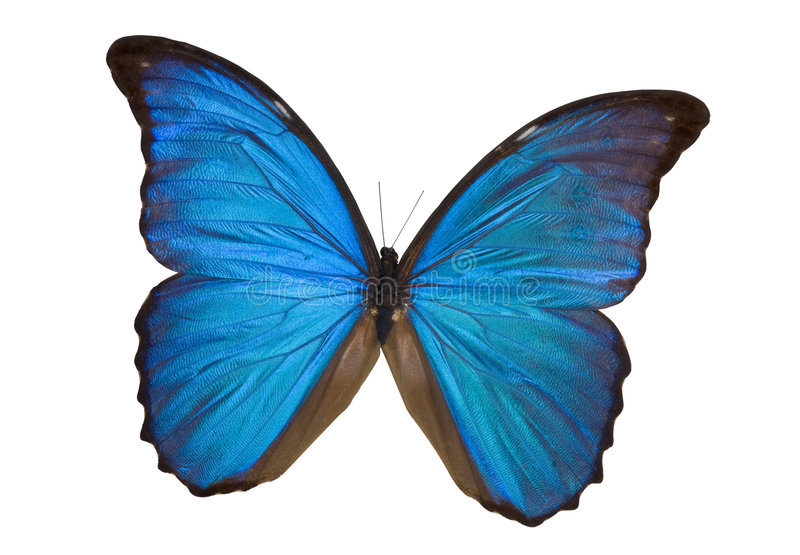 голубое morpho бабочки стоковые фото