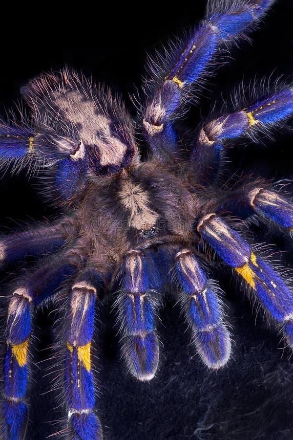 голубой вползая tarantula стоковое изображение