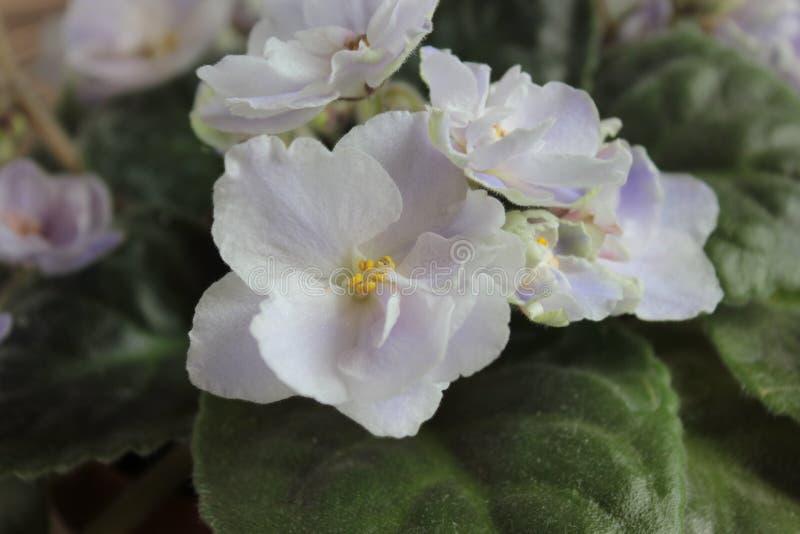 Голубой двойной фиолет, цветок комнаты стоковое изображение